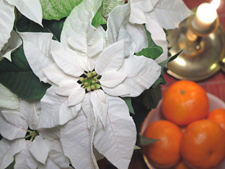 hvit-julestjerne